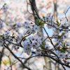 船越公園 桜